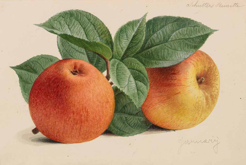 "More than 300 original watercolors by Pieter Joseph de Pannemaeker for ""Originaux de publications d´horticulture et d'arboriculture"" come from the ownership of Comte de Kerchove de Denterghem. The works which the Belgian painter and lithographer made between 1878-1887 served as models for color plates released in various magazines on plants, flowers and fruits. The unique work with its bright illustrations will be called up with an estimate of € 20,000."