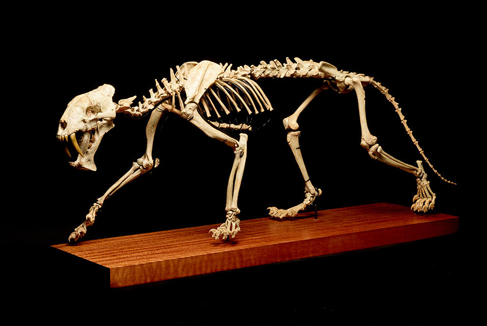 "A rare complete skeleton of a ""Sabre-toothed tiger"" headlining the Natural History and Palaeontology collection."
